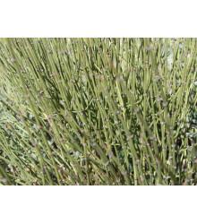 Chvojník viridis - Ephedra viridis - semiačka - 8 ks