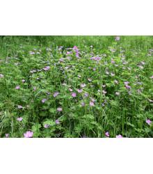 More about Pakosť smradľavý - Geranium robertianum - semiačka - 10 ks