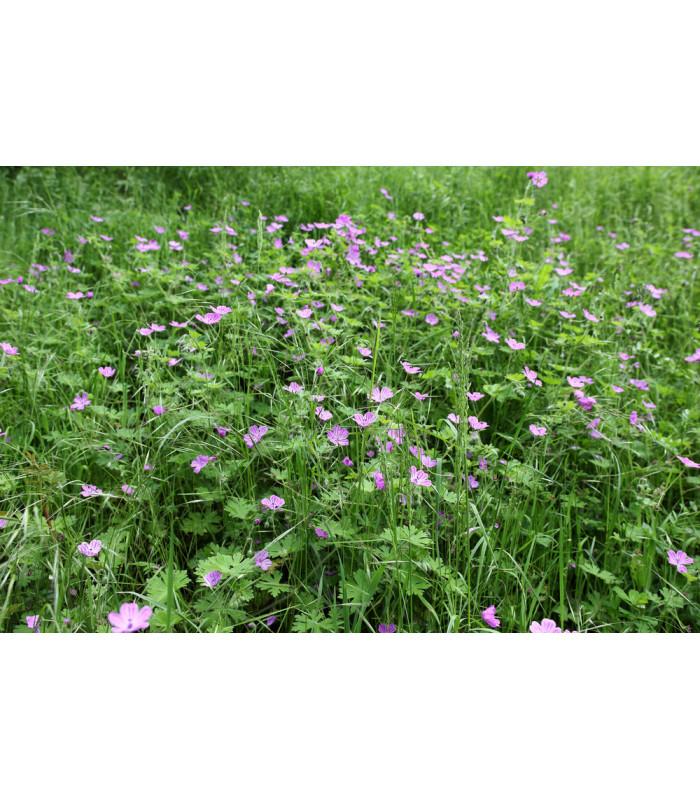 Pakosť smradľavý - Geranium robertianum - semiačka - 10 ks