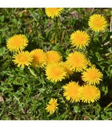 Púpava lekárska - Taraxacum ruderalia - offiicinalis - 0,3 gr