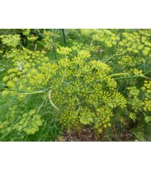 Aníz - Pimpinella anisum - semiačka - 350 ks