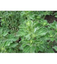 Jablčník obyčajný - Marrubium vulgare -semiačka - 12 ks