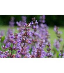 Bio šalvia lekárska - BIO semiačka - Salvia officinalis - 30 ks