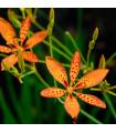 Angínovník čínsky - Belamcanda chinensis - semiačka - 5 ks