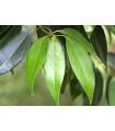Gáfrovník lekársky - Škoricovník Gáfrovník - Cinnamomum camphora - semiačka - 6 ks
