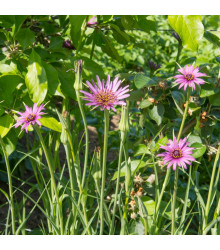 Kozobrada fialová - Tragopogon porrifolius - semiačka - 90 ks
