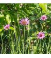 Kozobrada fialová - Tragopogon porrifolius - semiačka - 1,2 gr