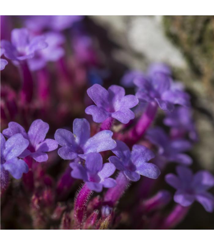Verbena - Železník lekársky - Verbena officinalis - semiačka - 0,5 gr