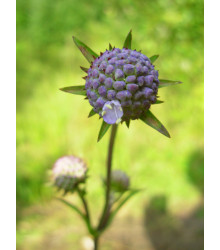 Čertkus lúčny - Succisa pratensis - semiačka - 20 ks