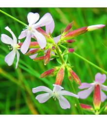 Mydlica lekárska - Saponaria officinalis - semiačka - 15 ks