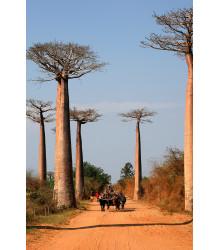 Baobab Za - Adansonia madagascariensis - semiačka - 3 ks