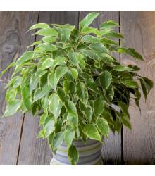 Fikus Benjamín - Ficus benjamina - semiačka - 4 ks