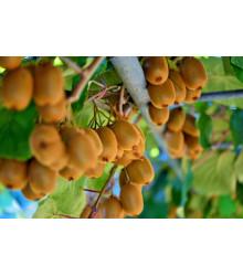 Kiwi čínske - Aktinidia - Actinidia chinensis - semiačka - 5 ks