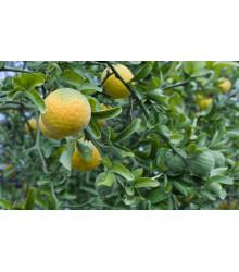Citrónovníkovec trojlistý - Citrus trifoliata - semiačka - 4 ks