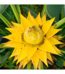 Banánovník snežný - Ensete glaucum - semiačka - 3 ks