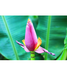Banánovník ružový - Musa ornata - semiačka - 3 ks