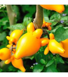 Solanum mammosum - semiačka - 5 ks