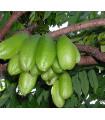 Karambola Bilimbi - Uhorkový strom - Averrhoa carambola - semiačka - 5 ks