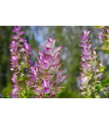 Šalvia muškátová - Salvia sclarea - semiačka - 50 ks