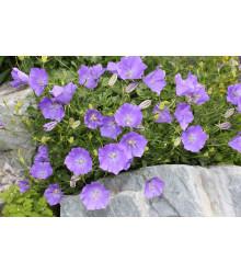 Zvonček karpatský modrý - Campanula carpatica - semiačka - 0,5 gr
