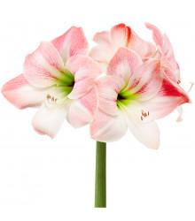 Amarylis Apple Blossom - Cibuľoviny - 1 ks