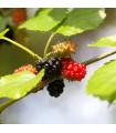 Moruša čierna - Morus nigra - semiačka - 5 ks