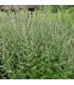 Palina obyčajná - Artemisia vulgaris -semiačka - 50 ks