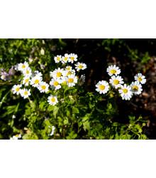 Rimbaba obyčajná - Chrysanthemum parthenium - semiačka - 15 ks