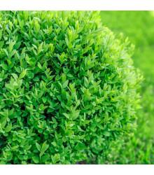 Krušpán vždyzelený - Buxus sempervirens - semiačka - 10 ks