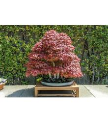 Javor japonský - Acer palmatum - semiačka - 5 ks