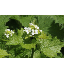 Cesnačka lekárska - Alliaria petiolata - predaj semien - 0,1 g