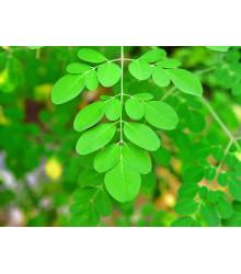 Moringa olejodárna - Moringa oleifera - semiačka - 4 ks