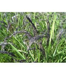 Ryža siata - Oryza sativa - semiačka - 12 ks