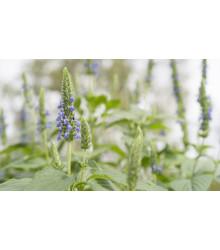 Chia - Salvia hispanica - semiačka - 10 ks