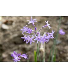 More about Cesnaková tráva - Tulbaghia violacea - semiačka - 5 ks