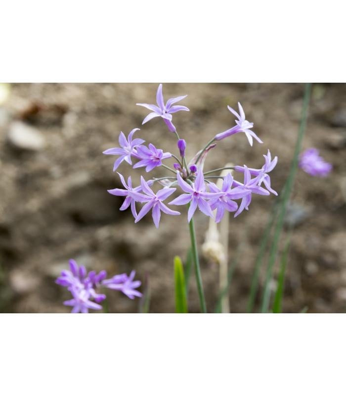 Cesnaková tráva - Tulbaghia violacea - semiačka - 5 ks