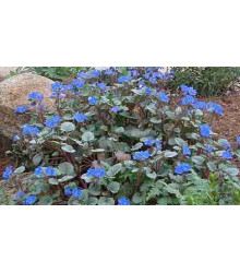 Facélia modrá - Phacelia campanularia - pre včely - semiačka - 0,7 gr