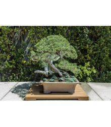 Jalovec čínsky - Juniperus chinensis - semiačka - 5 ks