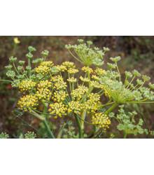 BIO Fenikel koreninový - Foeniculum ssp. - BIO semiačka - 0,3 g