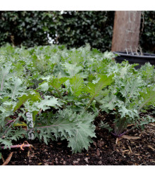 Kel Red Russian - Brassica oleracea - semená kalu - 150 ks