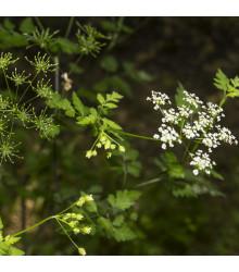 Bio Trebuľka siata - Bio semená - Anthriscus cerefolium crispum - semená trebuľky - 0,8 g