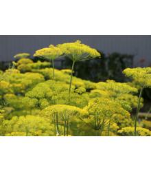 Bio Kôpor voňavý - Anethum graveolens - Semená - 300 ks