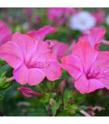 Nocovka jalapovitá Limelight - Mirabilis jalapa - predaj semien - 6 ks