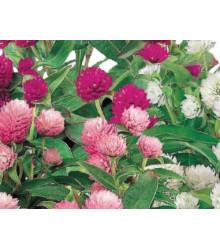 Gomfréna hlávkatá zmes farieb - Gomphrena globosa - predaj semien letničiek - 60 ks