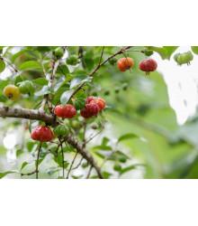 Surimanská čerešňa - Martej jednokvetá - Eugenia uniflora - predaj semien - 2 ks