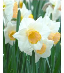 Narcis Salome- predaj cibuľovín - cibuľky narcisov - 3 ks