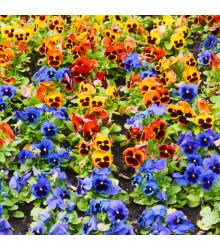 Sirôtka záhradná holandská zmes farieb- Viola wittrockiana -semiačka - 200 ks