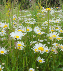 Margarétková lúka - semená lúčnych kvetov a tráv - 10 g