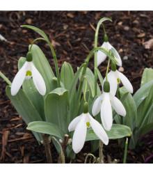 Snežienka Elwesova - Galanthus elwesii - cibuľky - 3 ks
