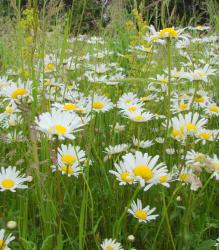 Margarétková lúka - semená lúčnych kvetov a tráv - 50 g